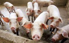 Καταγραφή όλων των χοιροτροφικών εκμεταλλεύσεων θα πραγματοποιήσει το Τμήμα Κτηνιατρικής της ΠΕ Ημαθίας