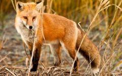 Εναέρια ρίψης εμβολίων  δολωμάτων κατά της λύσσας για άγρια ζώα